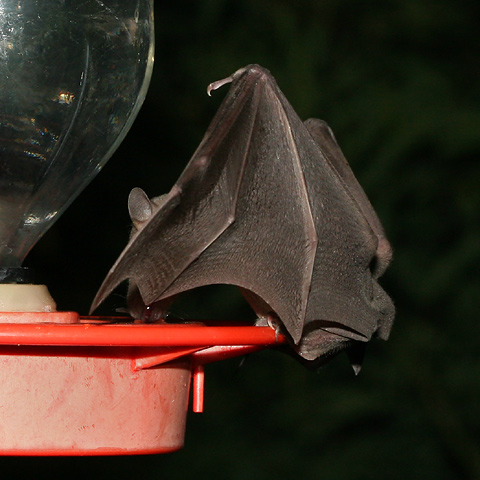 Hummingbird feeder bat in Tucson, Arizona