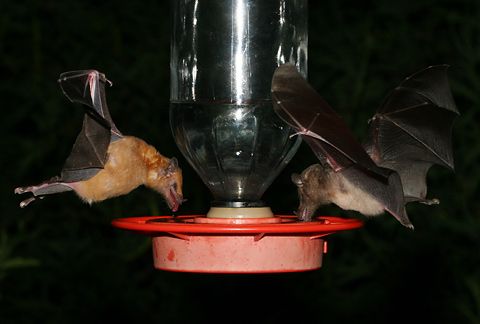 Lesser Long-nosed Bat (Leptonycteris curasoae yerbabuenae) and a Mexican Long-tongued Bat (Choeronycteris mexicana)