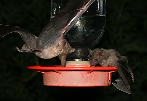 Hummingbird feeder bats in Tucson, Arizona