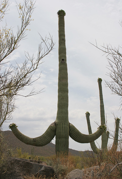 Saguaro (Carnegiea gigantea) with paired arms