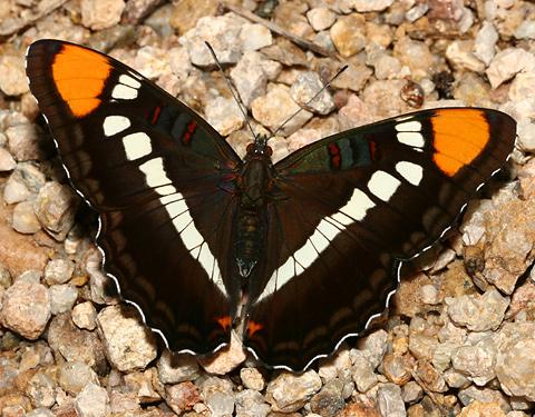 California Sister (Adelpha bredowii eulalia) butterfly