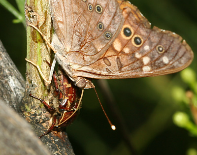 Hackberry Emperor (Asterocampa celtis) feeding on sap with a June Beetle or Scarab Beetle (Family Scarabaeidae)