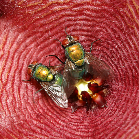 Green Bottle Flies (Lucilia sp., formerly Phaenicia sp.) on a Stapelia flower