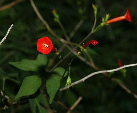 Transpecos Morning-glory (Ipomoea cristulata)