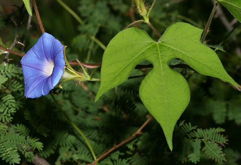 Ivyleaf Morning-glory (Ipomoea hederacea)