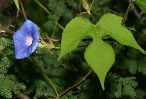Ivyleaf Morning-glory (Ipomoea hederacea)
