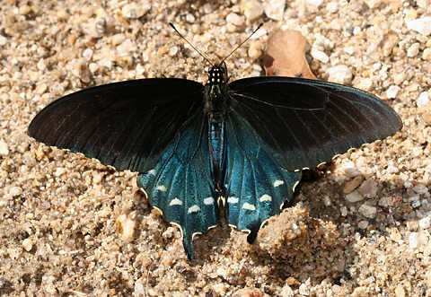 Pipevine Swallowtail (Battus philenor) drinking from wet sand