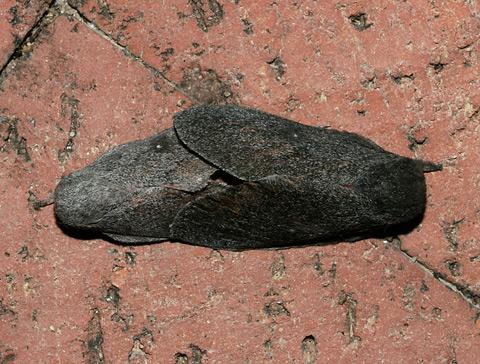 Mating Hubbard's Silkmoths (Sphingicampa hubbardi)