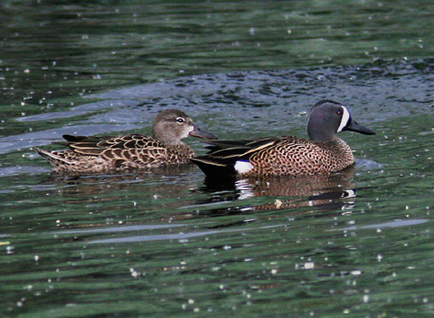 Male and female Blue-winged Teal (Anas discors) ducks