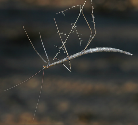 Common Walkingstick (Family Diapheromeridae)