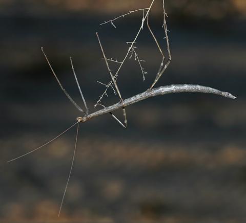Common Walkingstick (Family Diapheromeridae)
