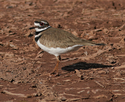 Killdeer (Charadrius vociferus) at Arizona's Whitewater Draw Wildlife Area