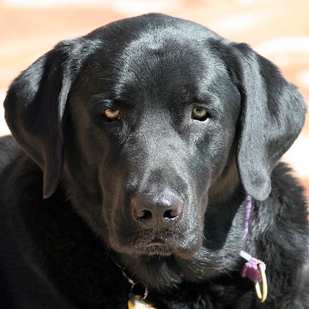 My black Labrador Retriever Sammy