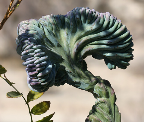 Blue Candle, Blue Myrtle Cactus, or Garambullo (Myrtillocactus geometrizans crest 'Dinosaur Back')