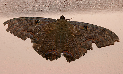 Male Black Witch moth (Ascalapha odorata) or Mariposa de la Muerte (Butterfly of Death)