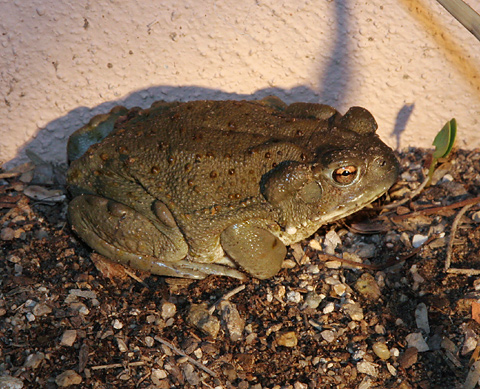 sonoran desert toad bufo alvarius   the firefly forest