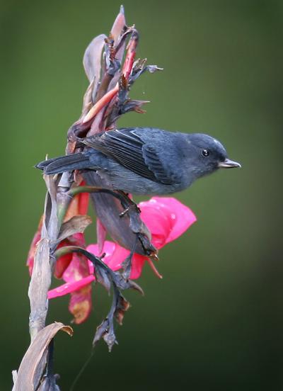 Male Slaty Flowerpiercer (Diglossa plumbea)
