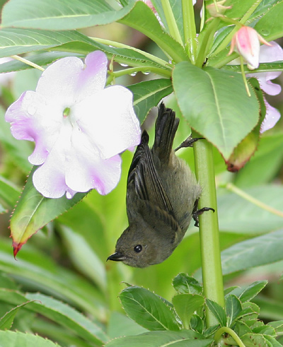 Female Slaty Flowerpiercer (Diglossa plumbea) in a Oliver's Touch-me-not or Shrub Balsam (Impatiens sodenii)