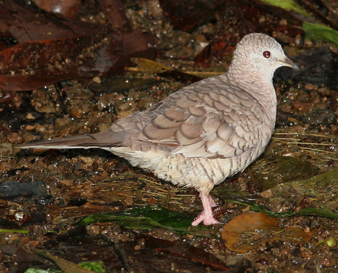 Inca Dove (Columbina inca) in Manuel Antonio, Costa Rica