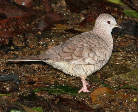 Inca Dove (Columbina inca) in Manuel Antonio, Costa Rica