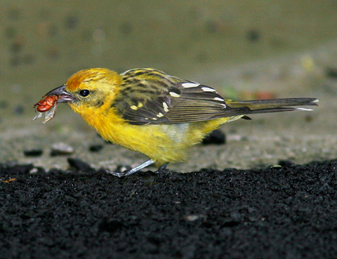 Female Flame-colored Tanager (Piranga bidentata)