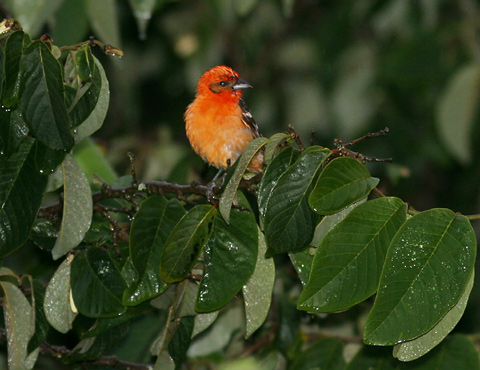 Male Flame-colored Tanager (Piranga bidentata)