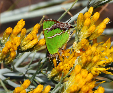 Silver-banded Hairstreak (Chlorostrymon simaethis) butterfly
