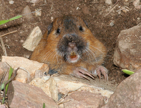 Botta's Pocket Gopher (Thomomys bottae catalinae) showing its claws and white chin