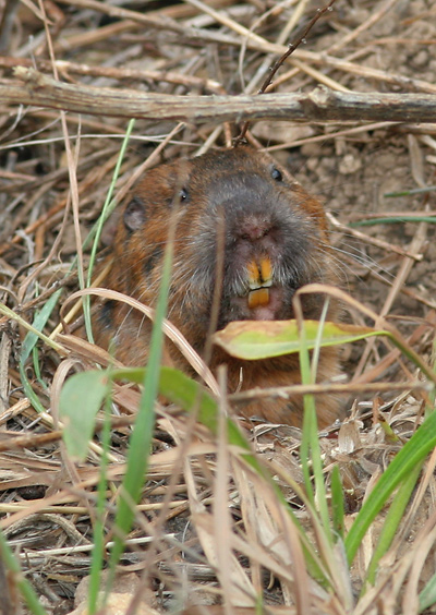 Botta's Pocket Gopher (Thomomys bottae catalinae) showing its teeth