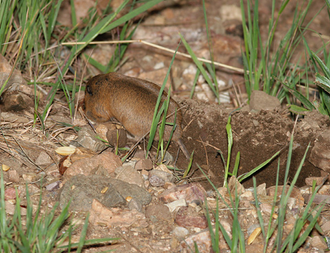 Botta's Pocket Gopher (Thomomys bottae catalinae) with bulging cheek pouches emerging from its burrow