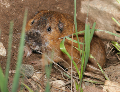 Botta's Pocket Gopher (Thomomys bottae catalinae) in Arizona's Santa Catalina Mountains