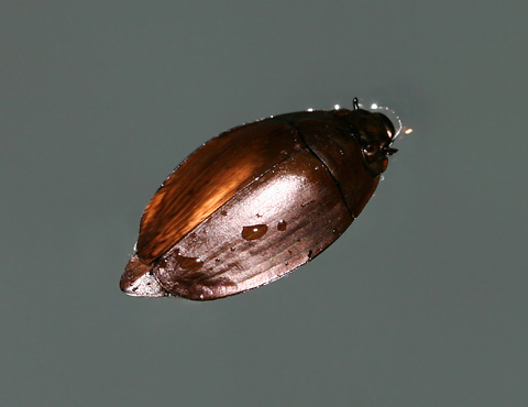 Whirligig Beetle (Dineutus sublineatus) in a swimming pool at night