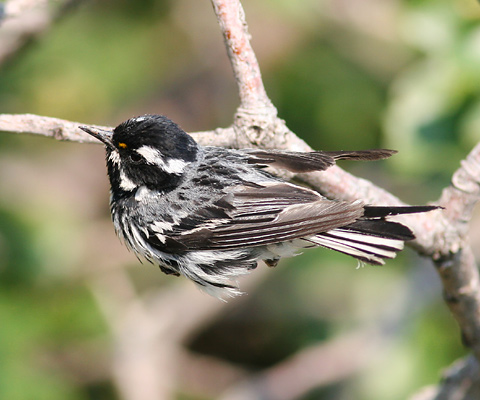 Male Black-throated Gray Warbler (Dendroica nigrescens)