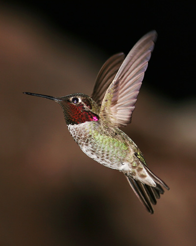 Immature male Anna's Hummingbird (Calypte anna)