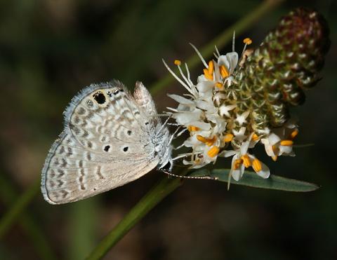 Ceraunus Blue (Hemiargus ceraunus) butterfly on a White Prairie Clover (Dalea candida)