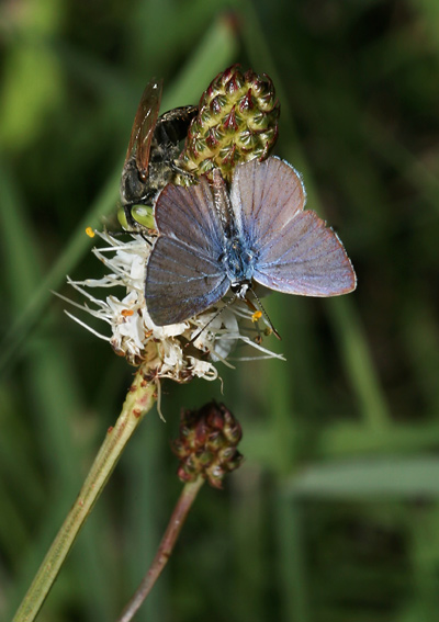 Male Ceraunus Blue (Hemiargus ceraunus) butterfly on a White Prairie Clover (Dalea candida)