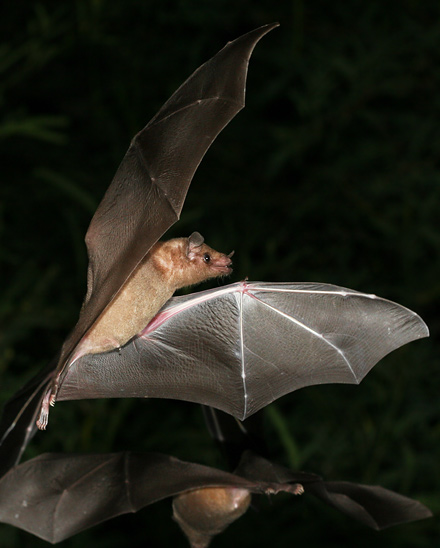 Lesser Long-nosed Bat (Leptonycteris curasoae yerbabuenae)