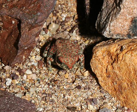 Tiny Red-spotted Toad (Bufo punctatus)