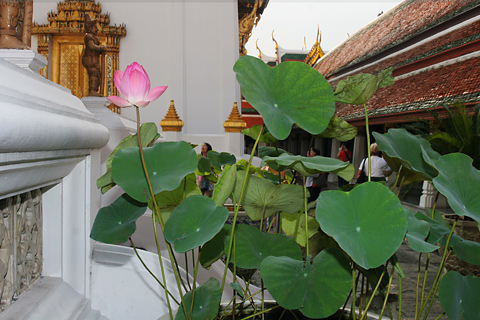 Sacred Lotus (Nelumbo nucifera) in the Grand Palace in Bangkok, Thailand