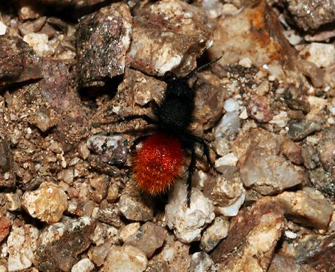 Female Velvet Ant (Dasymutilla sp.)