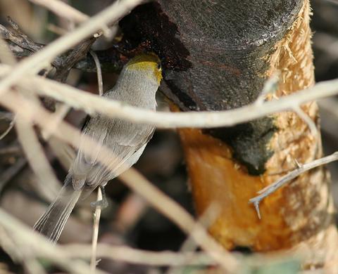 Verdin (Auriparus flaviceps) drinking mesquite (Prosopis sp.) sap