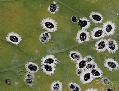 Whitefly (Tetraleurodes sp.) pupae on a Mexican Passionflower (Passiflora mexicana) leaf