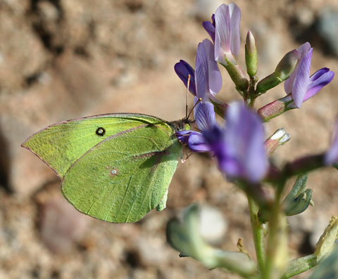Southern Dogface (Zerene cesonia) butterfly on a Milkvetch (Astragalus sp.)