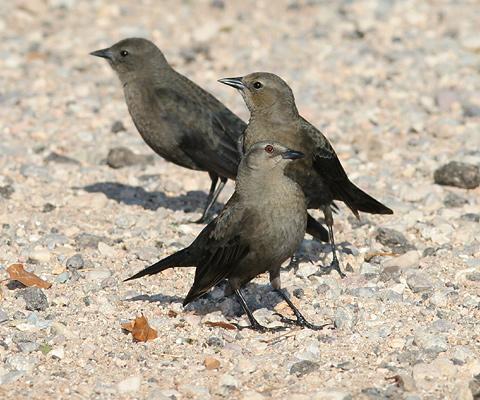 Female Brewer's Blackbird (Euphagus cyanocephalus) with light brown eyes