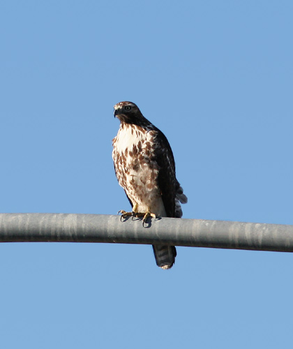 Immature Red-tailed Hawk (Buteo jamaicensis)