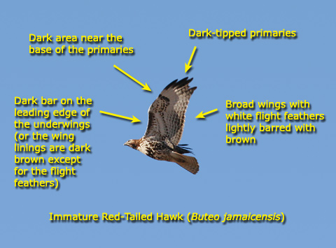 Identification guide for Red-tailed Hawks (Buteo jamaicensis) using an immature bird