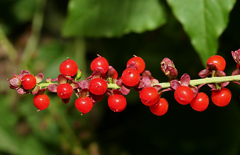 Rougeplant, Pigeonberry, Bloodberry, or Coralito (Rivina humilis) berries