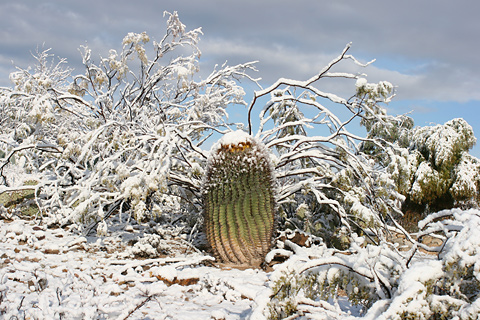 Snow-capped Candy Barrelcactus (Ferocactus wislizeni) in Tucson, Arizona, January 22, 2007