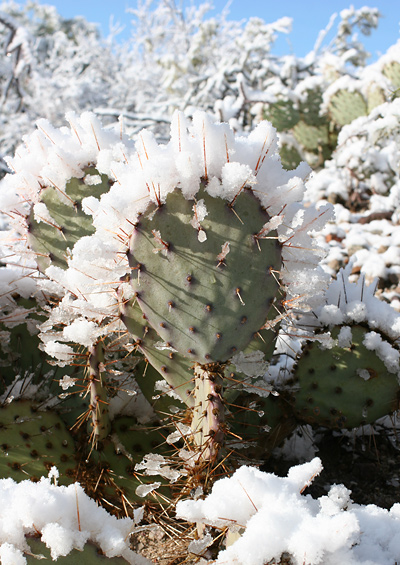 Snow-covered Cactus Apple or Engelmann's Pricklypear (Opuntia engelmannii) in Tucson, Arizona, January 22, 2007