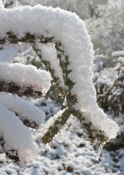 Snow-covered Staghorn Cholla (Cylindropuntia versicolor) in Tucson, Arizona, January 22, 2007